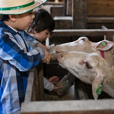 Foto da(o) Alimentação de Ovelhas