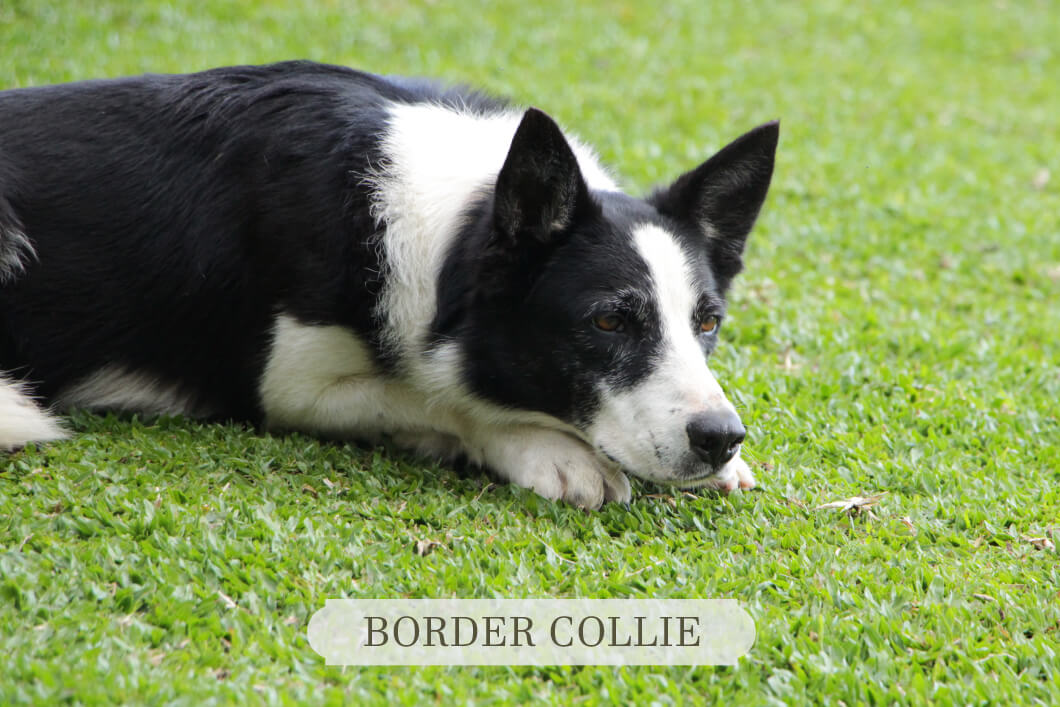 Border Collie deitado